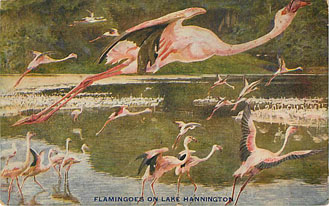 Flamingoes on Lake Hannington - Hunting Postcard