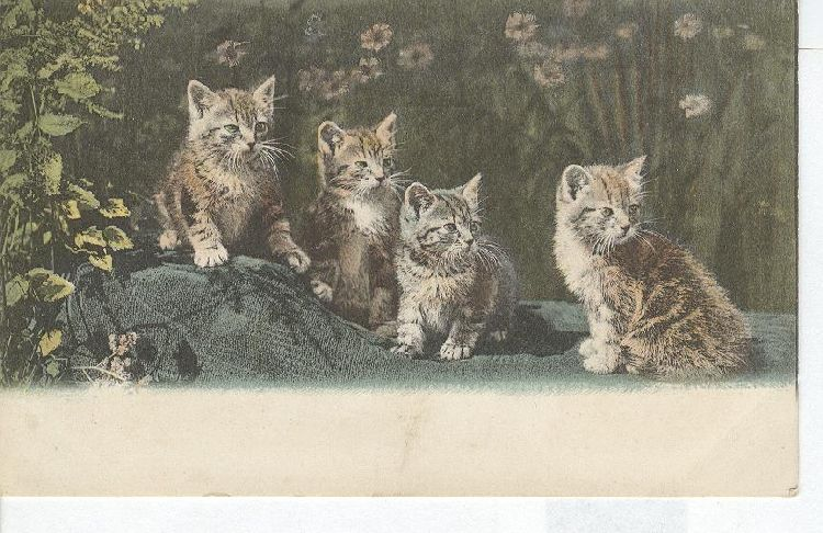 CAT Postcard Four Kittens 1906