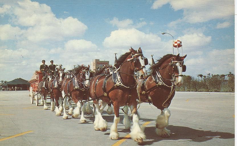Alcohol Postcard-World Famous Budweiser Clydesdale 8-Horse Team