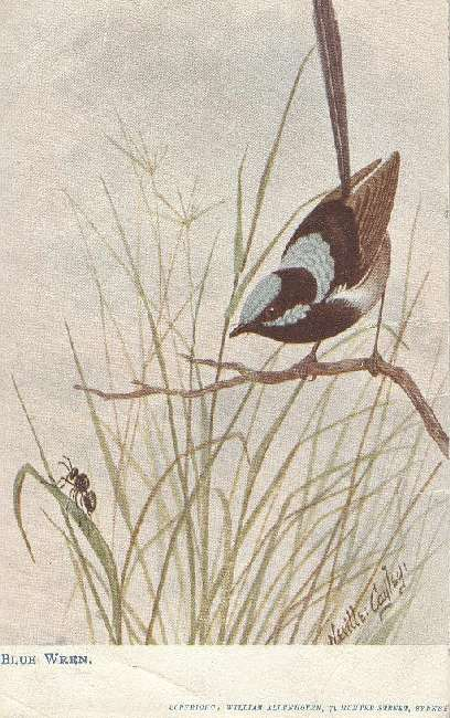 Blue Wren BIRD POSTCARD SIGNED Neville Cayley