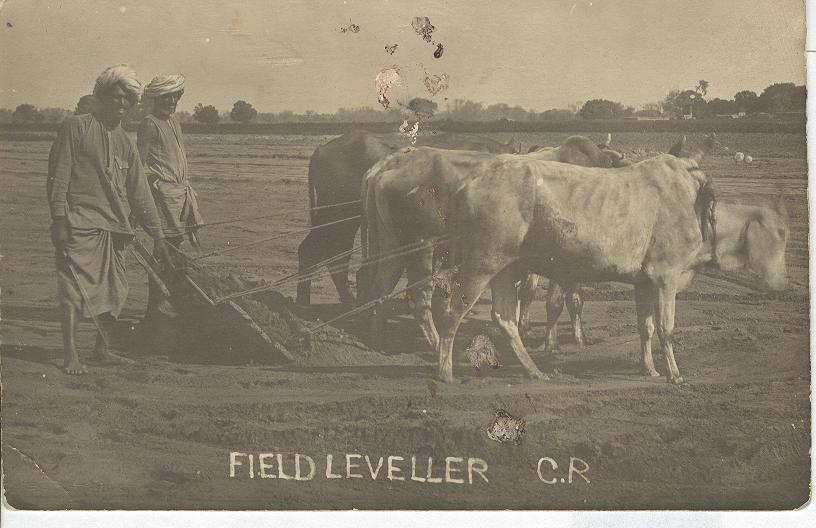 Field Leveller Pulled By Three Bulls Followed By Two Workers