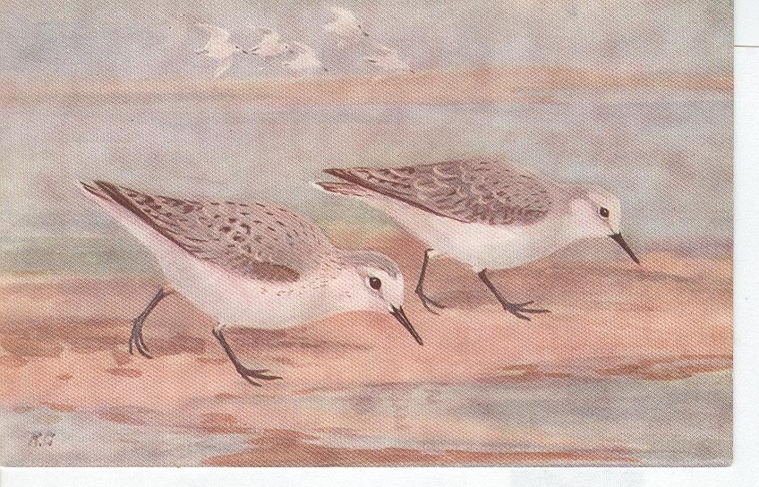 Animal Postcard - Bird...Sanderling