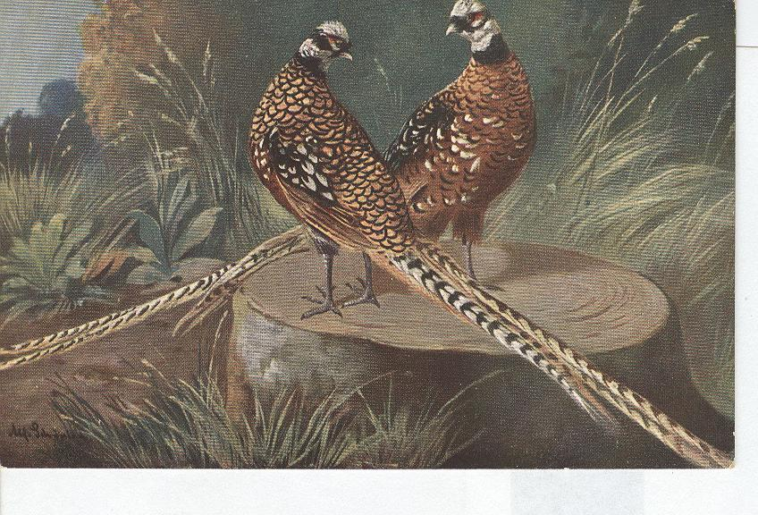 Animal Postcard - Pheasants