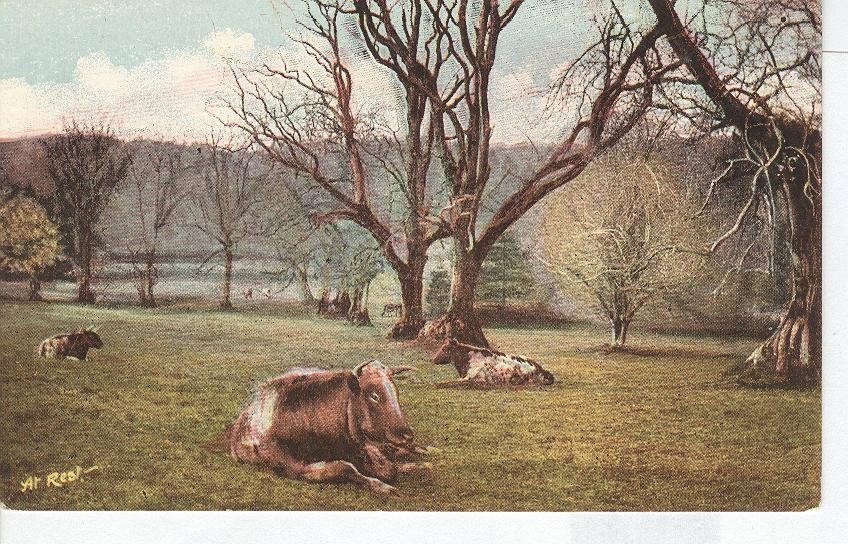 Cattle...Artist Signed Postcard